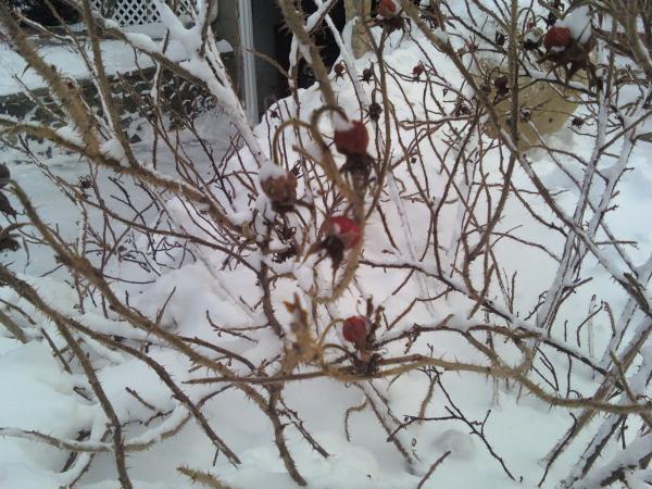 winter interest plant