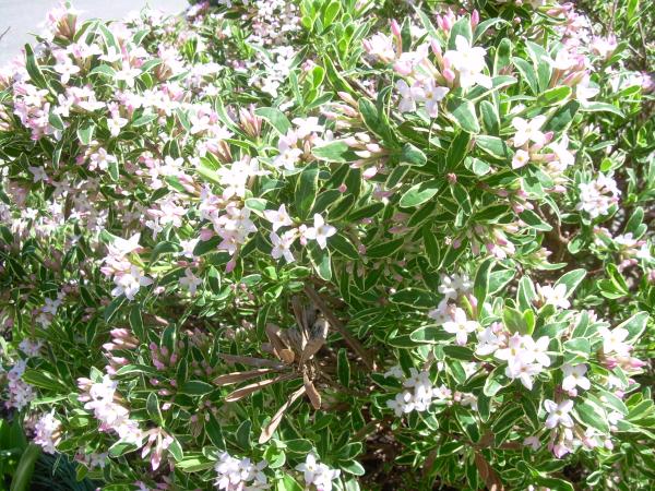 Daphne plant