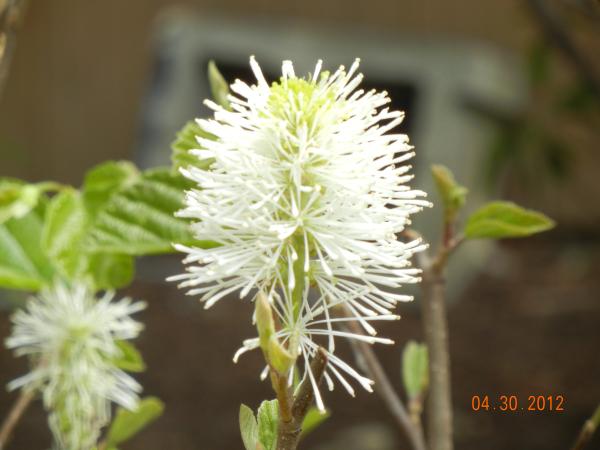 fothergilla plant