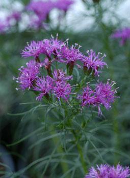 native massachusetts plants