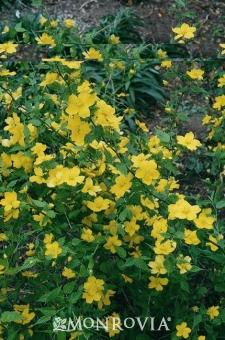 Shade Perennial for Garden Design