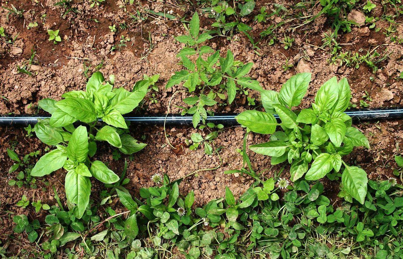 basil herb vegetable garden