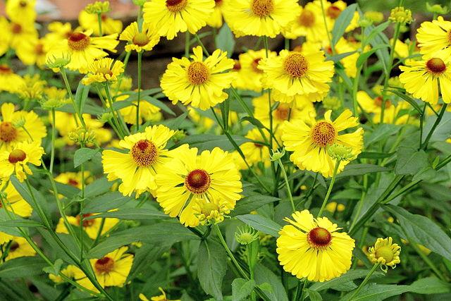Helen's Flower Loved by Pollinators