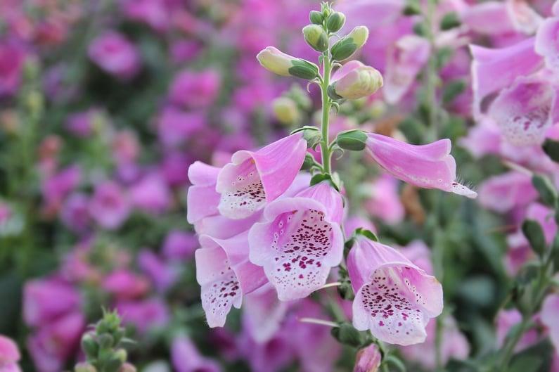 foxglove-biennial-flower