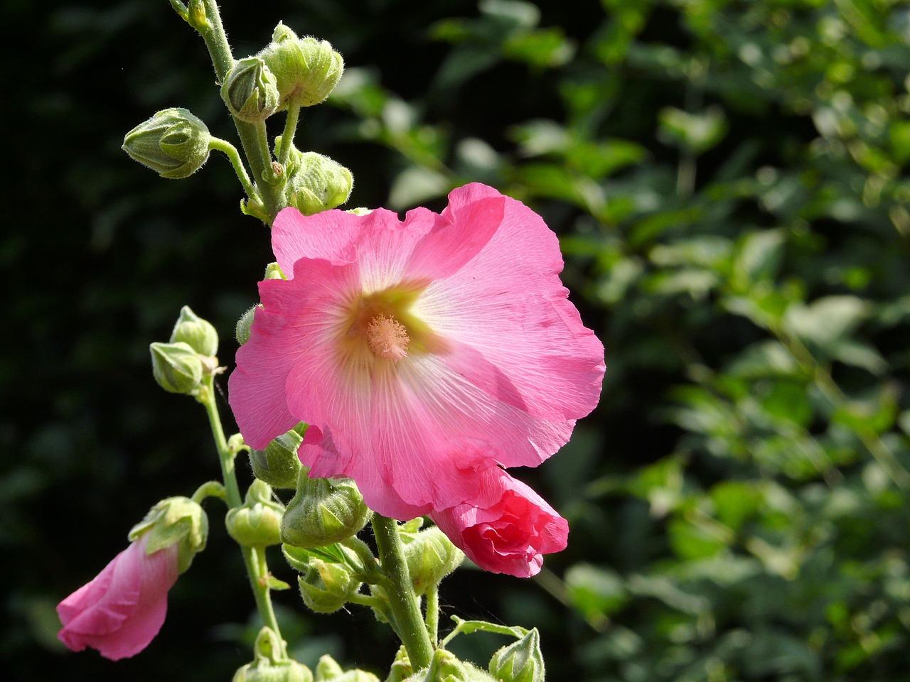 hollyhock-biennial-flower