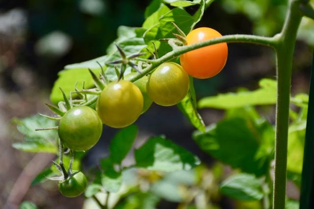 tomatoes vegetable garden