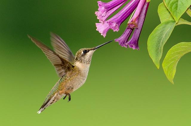 hummingbird flowers pollinating