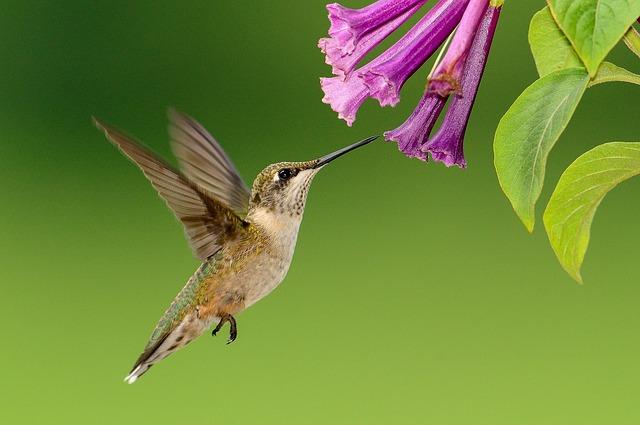 hummingbird flowers pollinating
