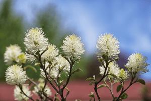 Beautiful-Bottlebrush-Flower-Fothergilla
