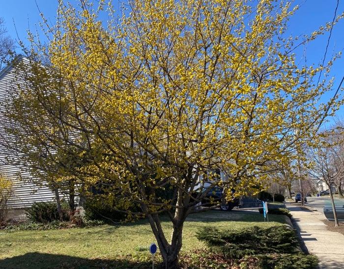 Native-Tree-Cornus mas-Cornelian-Cherry-Spring-Bloom