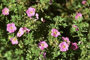 Pink-Flowers-Lapchatki-Potentilla