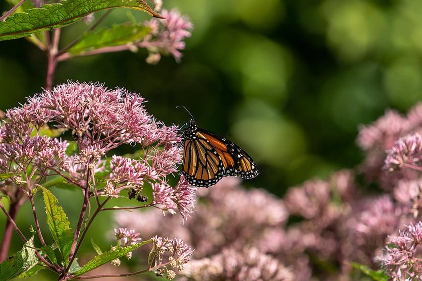 monarch-butterfly-on-milkweed-flower