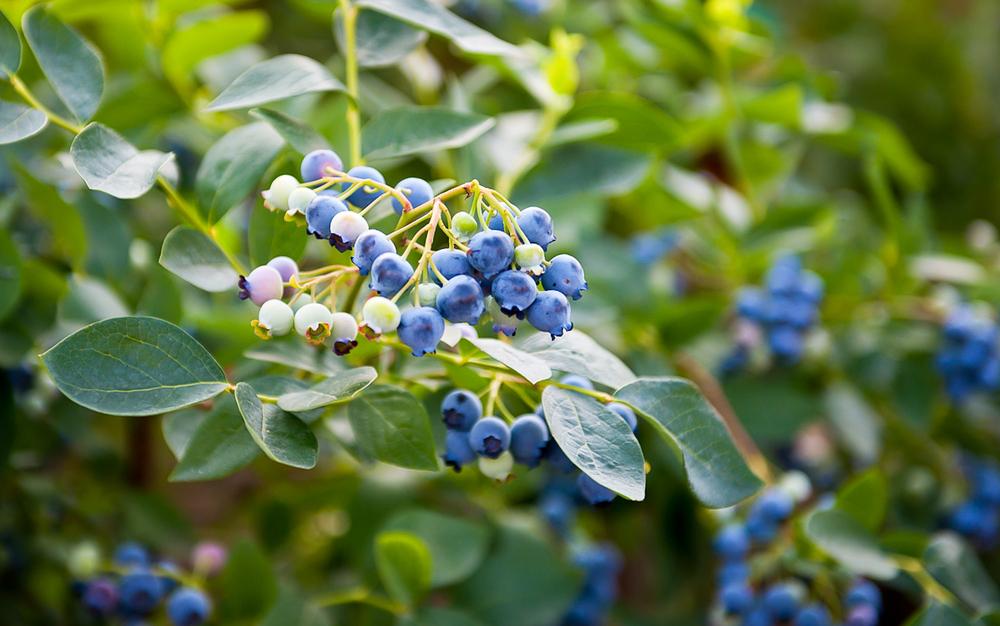 Highbush Blueberry Shrub