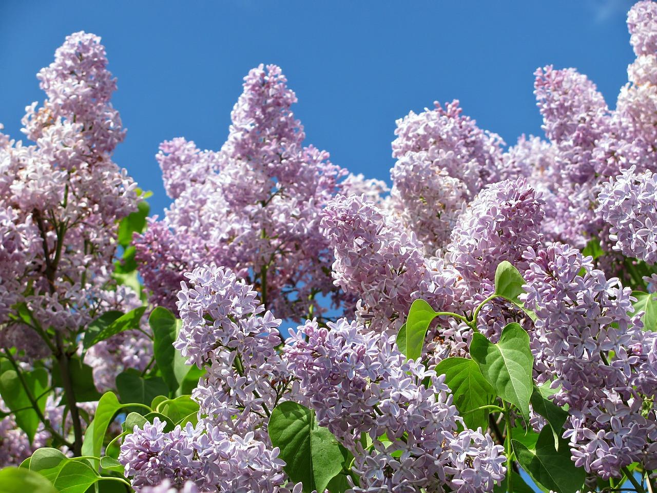 Lilac-Bush.jpg